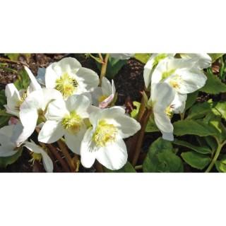 Hellébore blanc en pot Ø 12 cm 692228