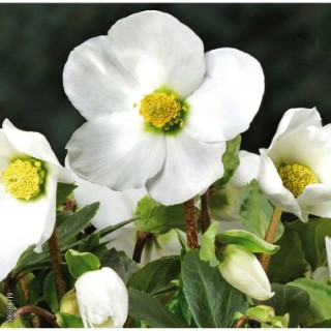 Hellébore (ou Rose de Noël) BLANCHE HGC® JERRY - Le pot de 1,5 litres 692231