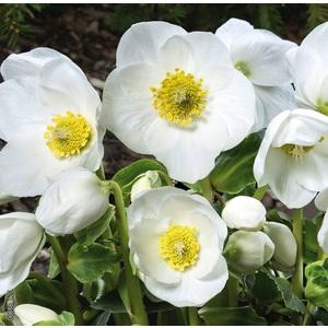 Hellébore (ou Rose de Noël) BLANCHE HGC® JESKO - Le pot de 1,5 litres 692232