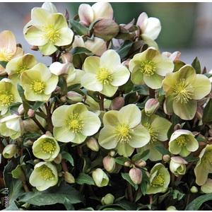 Hellébore (ou Rose de Noël) INTERSPECIFIQUE HGC® MARLON - Le pot de 1,5 litres 692236