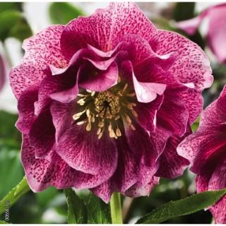 Hellébore (ou Rose de Noël) ORIENTALIS 'SP ELLY' - Le pot de 1,5 litres 692239