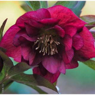 Hellébore (ou Rose de Noël) ORIENTALIS WHASFIELD DOUBLE QUEEN PURPLE - Le pot de 1,5 litres 692244