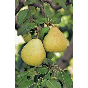 Poirier delbard délice jaune en pot de 12 L 694878