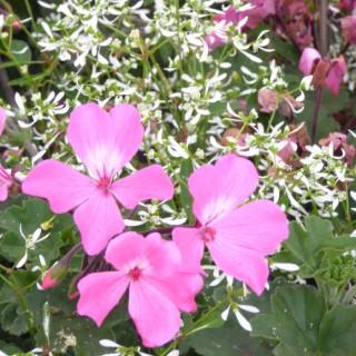 Geranium Lierre Simple + Euphorbe. La jardinière de 50 cm 695279