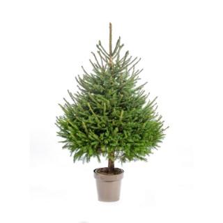 Sapin de Noël en pot Picea Excelsa vert 80/100 cm 695587