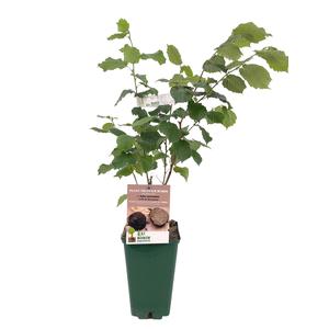 Plant truffier en pot de 3L 696004
