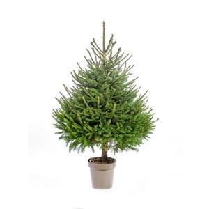 Sapin de Noël en pot Picea Excelsa vert 125/150 cm 696705