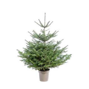 Sapin de Noël en pot Nordmann vert 100/125 cm 696727