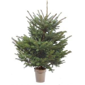 Sapin de Noël en pot Picea Pungens bleu 100/125 cm 696732
