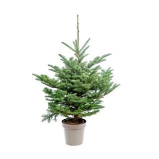 Sapin de Noël en pot Nobilis bleu 100/125 cm 696734