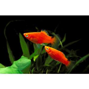 Xiphophorus maculatus 859597