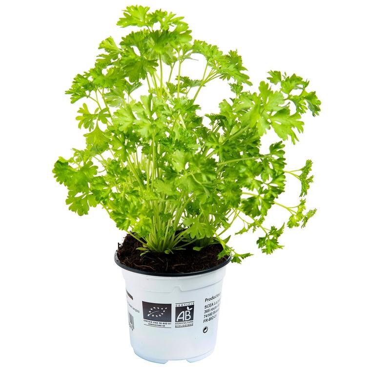 Persil bio prêt à cuisiner Ø 9-12 en pot de 10,5 cm 611520