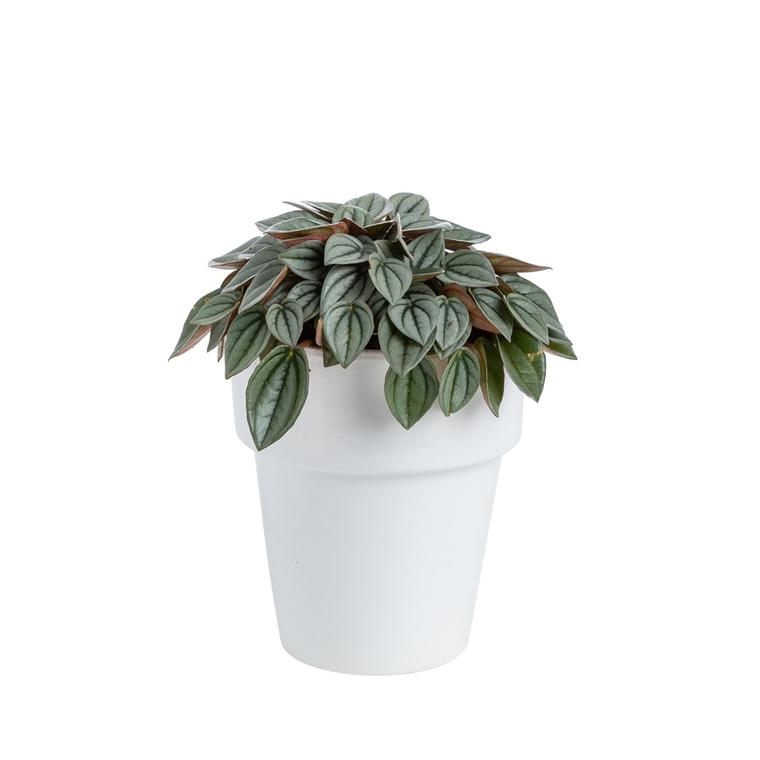 Peperomia Napoli Nights botanic® - Pot de Ø15 cm 615403