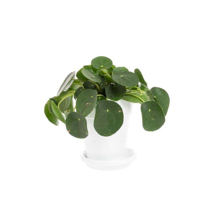 Plante du missionnaire (PILEA PEPEROMIOIDES) ø15 cm 615412