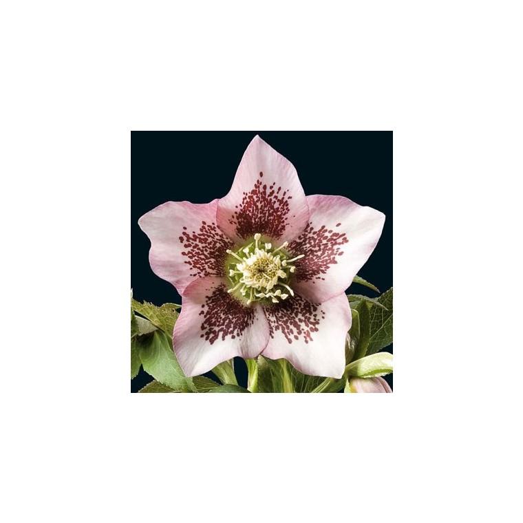 Helleborus Orientalis Pink Spotted. Le pot de 1 litre 61595
