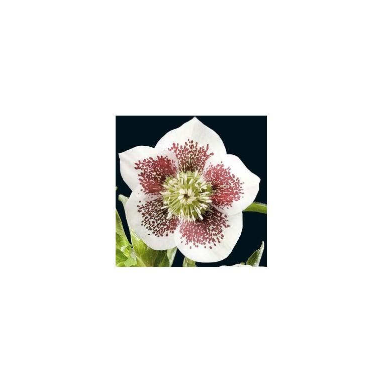 Hellébore (ou Rose de Noël) ORI. PONCTUE BLANC - Le pot de 1 litre 61599