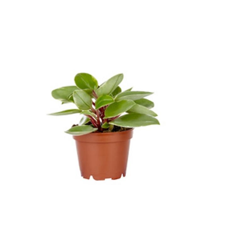 Peperomia Pixie plante baby en pot Ø 6 cm