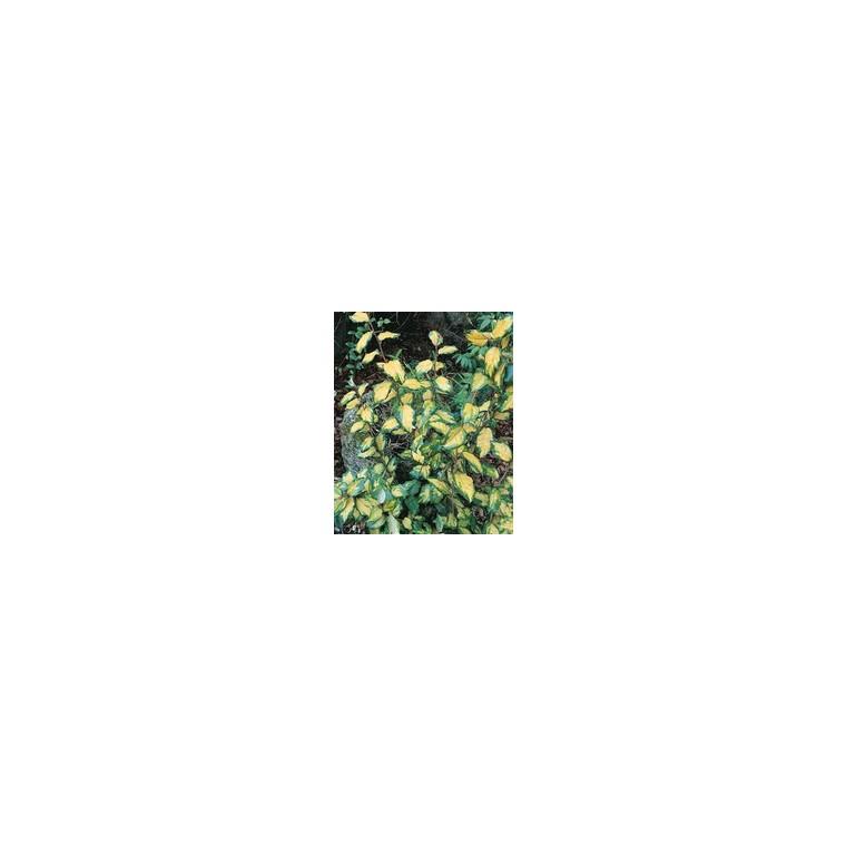 Elaeagnus X Ebbingei Limelight en pot de 35 L 125/150 cm 62223
