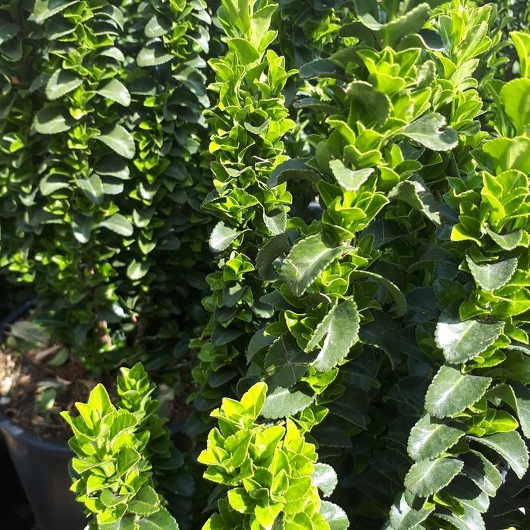 Euonymus Japonicus Benkomoki vert en pot de 10 L 62225