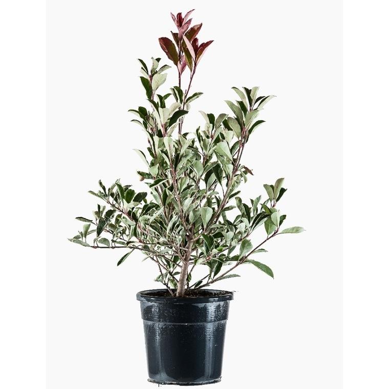 Photinia Fraseri Pink Marble® 60/80 en pot de 10 L rose 62251