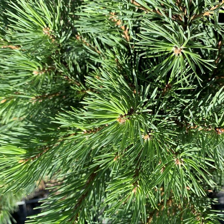 Pin sylvestre (Pinus Sylvestris) Watereri 1/2 tige. Le pot  15 litres 62261