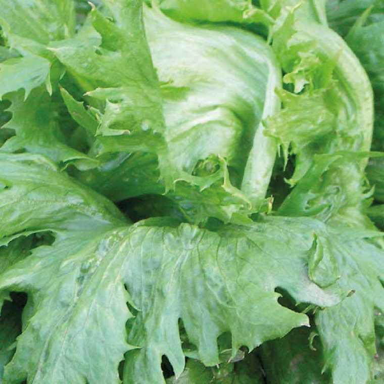 Laitue Batavia Iceberg Reine Des Glaces bio. La barquette de 12 plants 626534
