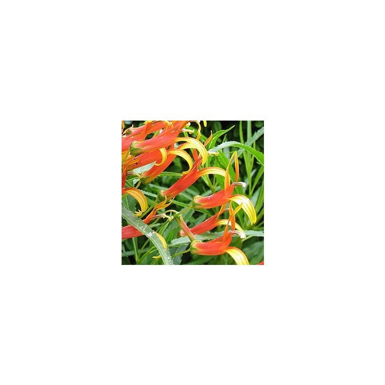 Lobélia laxiflora. Le pot de 10.5 cm 629192