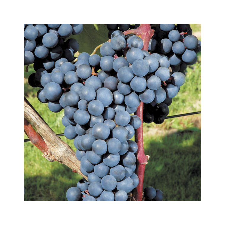 Vigne Alphonse Lavallée Le pot de 2 litres 632358