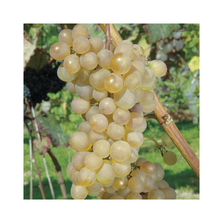 Vigne Danlas Le pot de 2 litres 632361