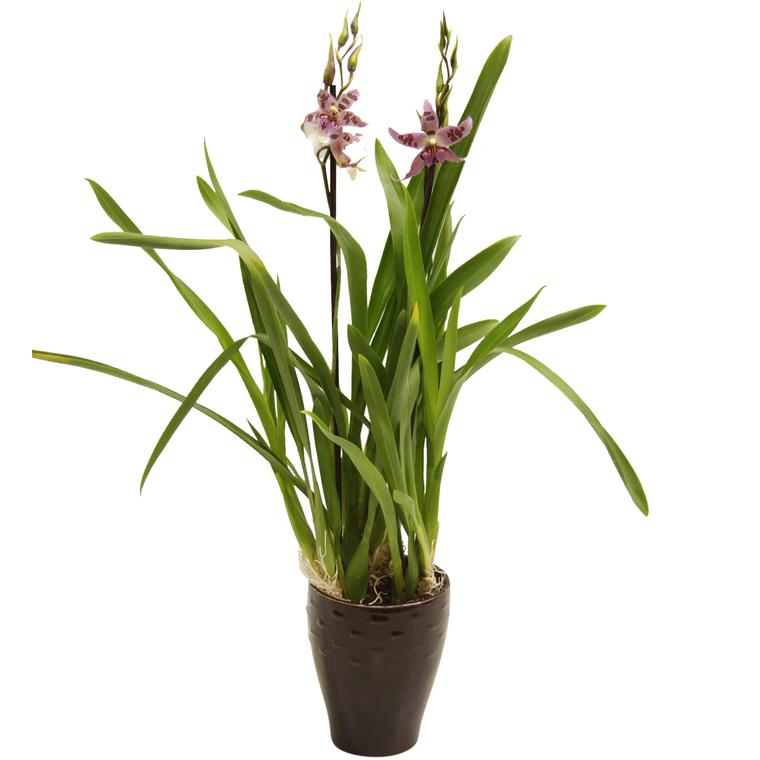 Orchidée Cambria 2 branches + cache-pot. Pot 13 cm