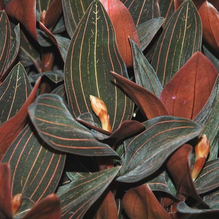Orchidée Ludisia 633822