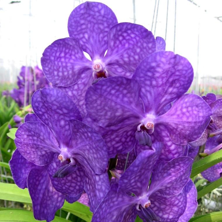 Orchidée Vanda botanic® - Pot de 27 cm 633823