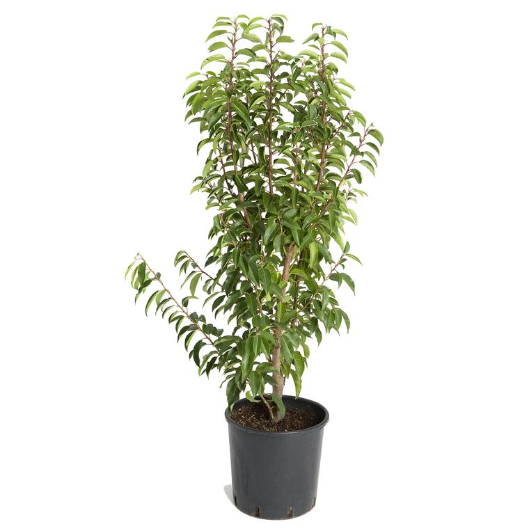 Prunus Lusitanica ou Laurier du Portugal en pot de 10 L