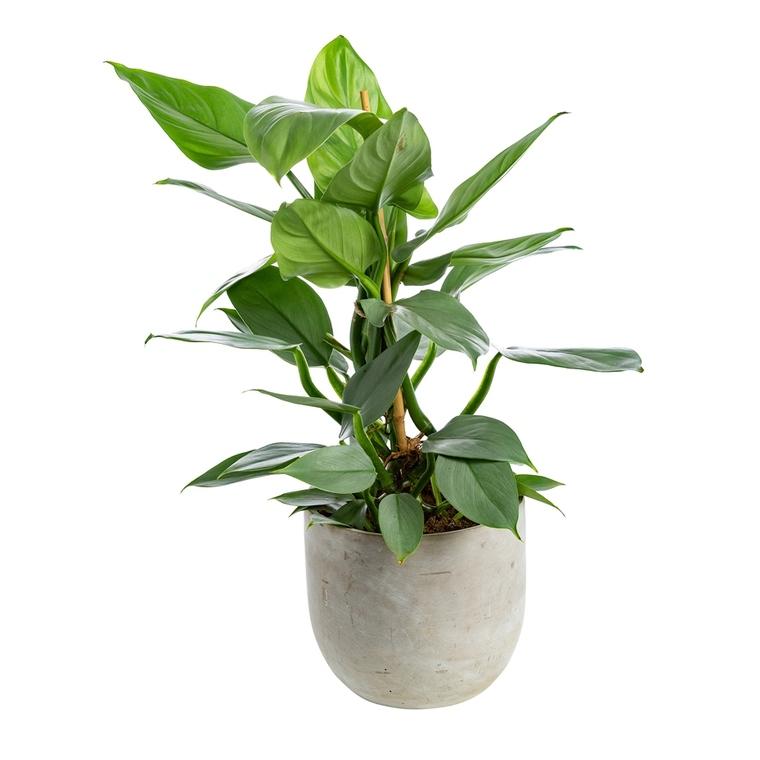 Philodendron hastatum avec cache-pot Ø 17 cm 635462