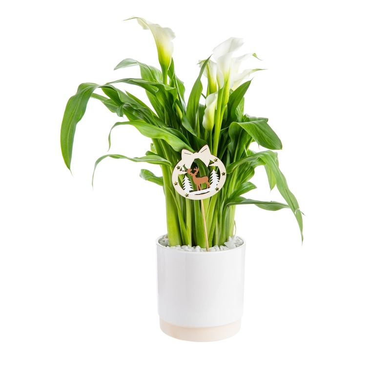 Calla Crystal Blush + cache-pot Ø 15 cm 645268