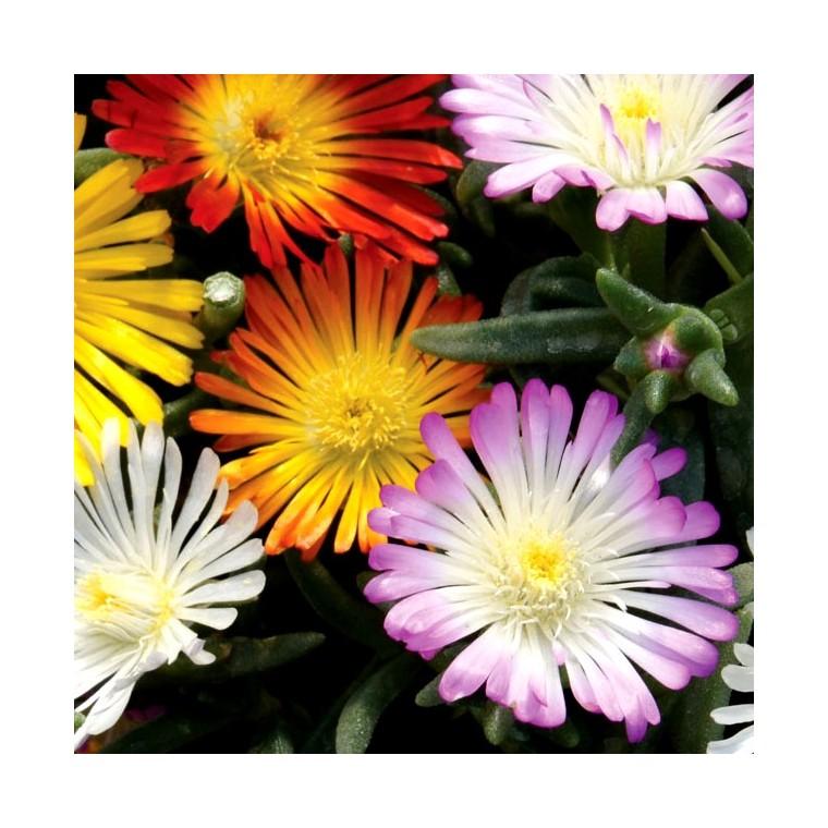 Delosperma Cooperi multicolore en pot de 5 L 646968