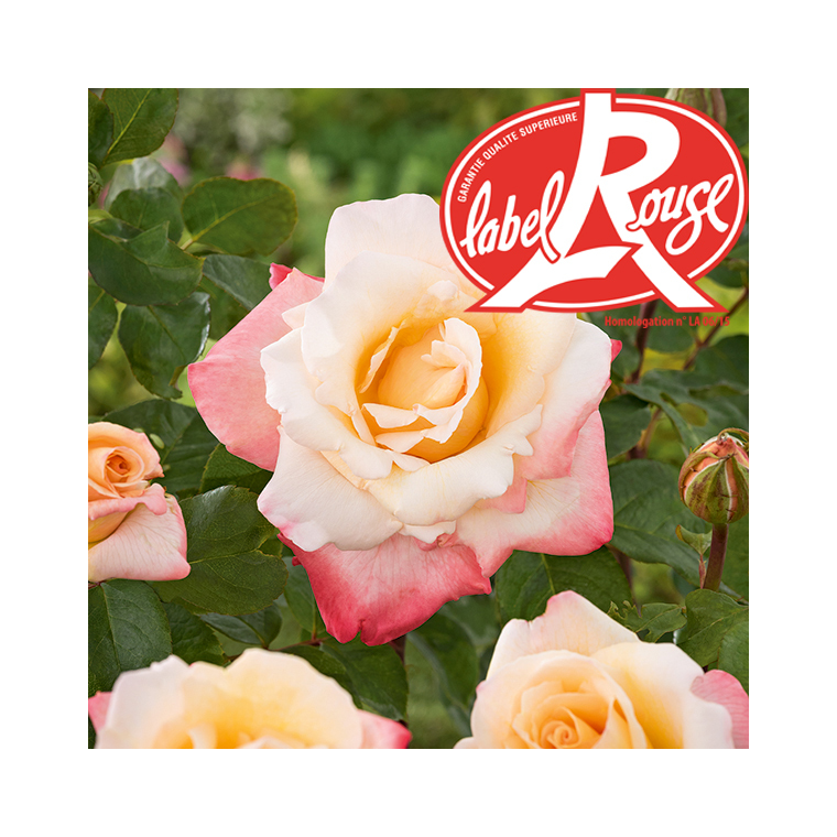 Rosier Laetitia Casta® Label Rouge en pot de 5L 647006
