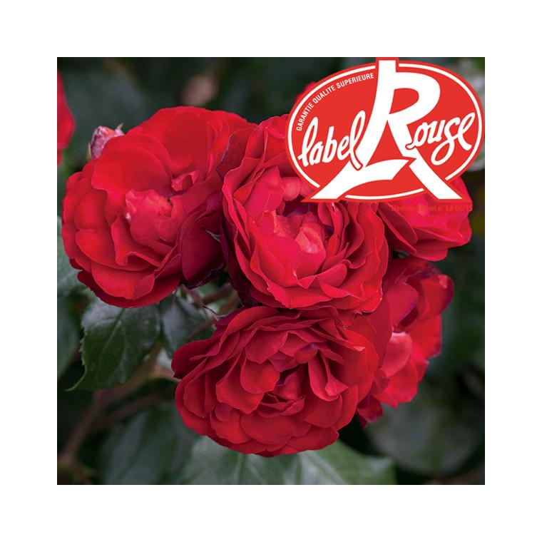 Rosier Bal Masqué® Label Rouge en pot de 5L 647008