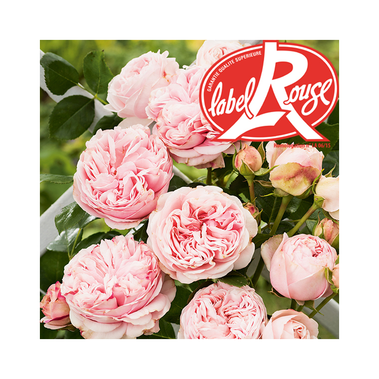 Rosier L'Alhambra® Label Rouge en pot de 5L 647010