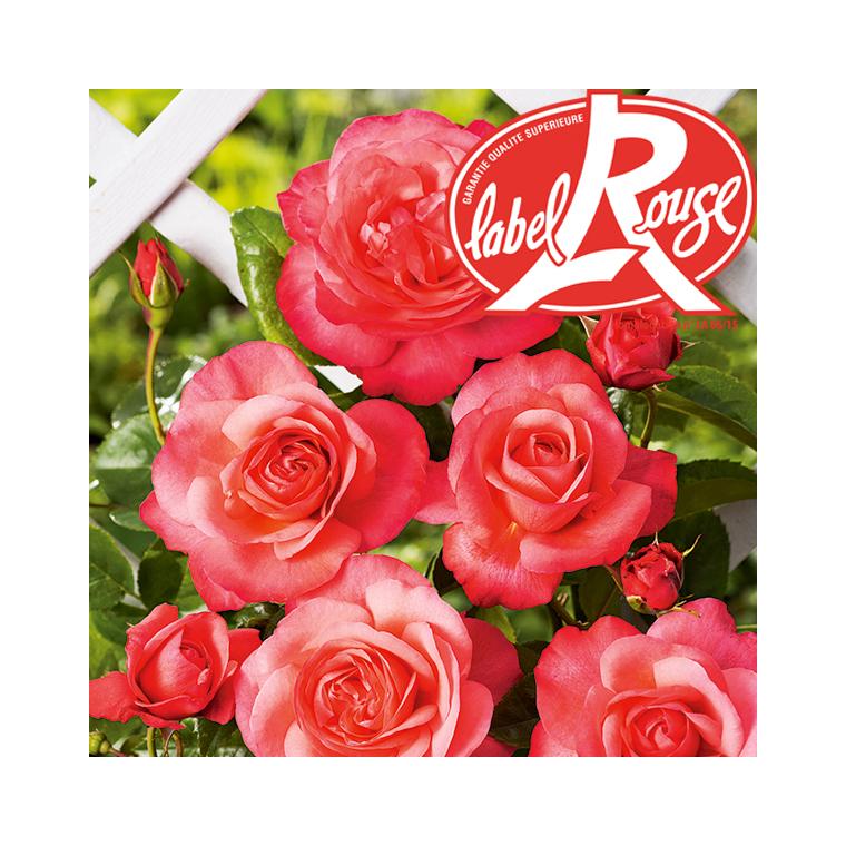 Rosier Parc de La Vanoise® Label Rouge en pot de 5L 647012