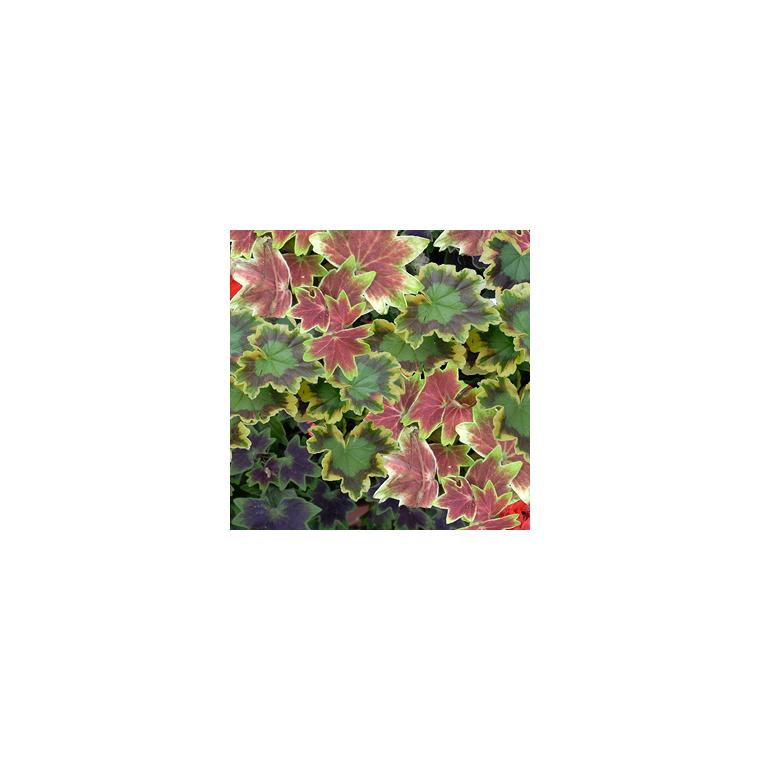 Géranium à feuillage décoratif multicolore en pot de 10 L 647031