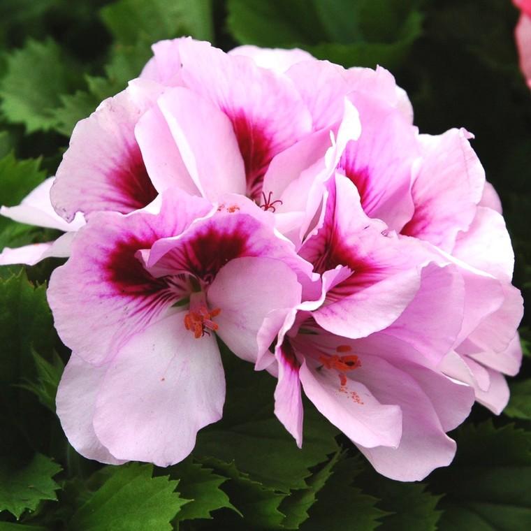 Géranium pensée à grandes fleurs en pot de 10 L 647033