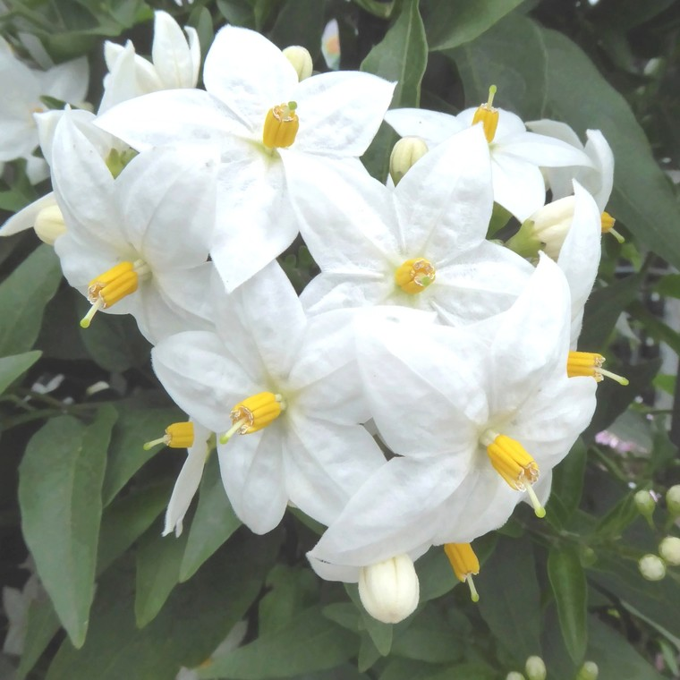 Solanum faux jasmin. Le pot de 1,6 litre 647449