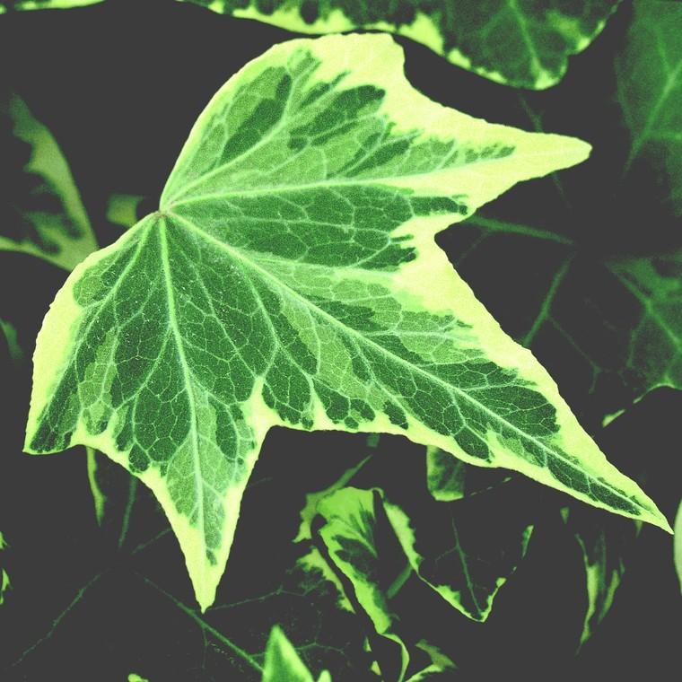 Lierre. La barquette de 6 plants 647453