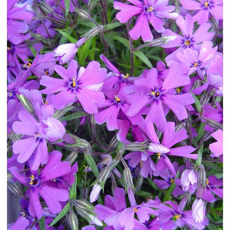 Phlox mousse. La barquette de 6 plants 647455