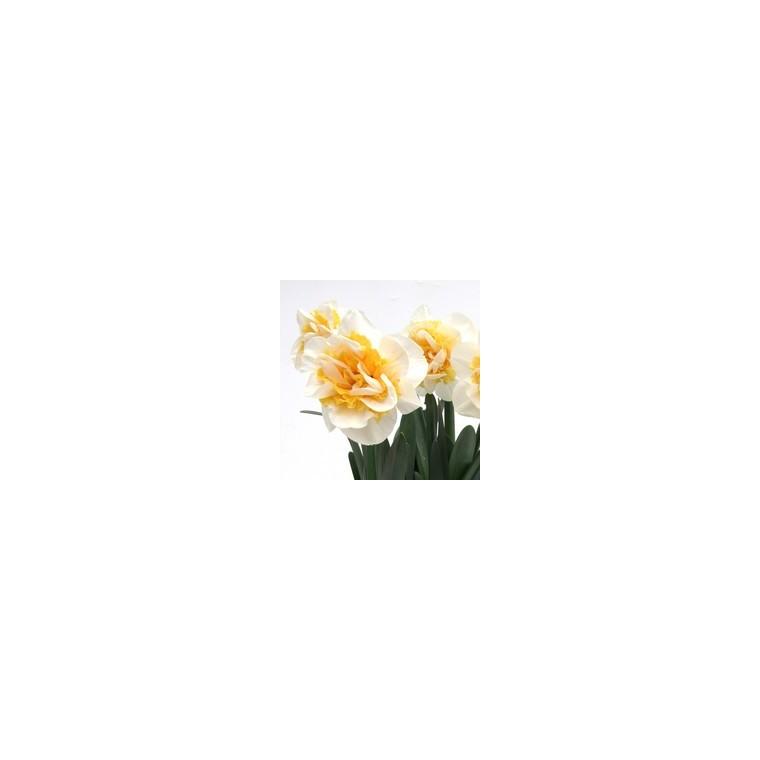 Narcisse à grandes fleurs. Le pot de 1 litre 250443