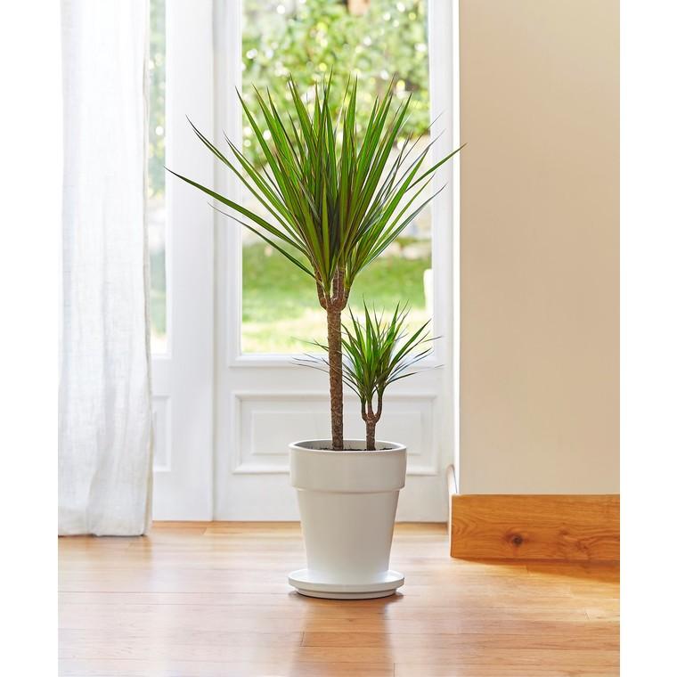 Dracaena marginata botanic® 650967