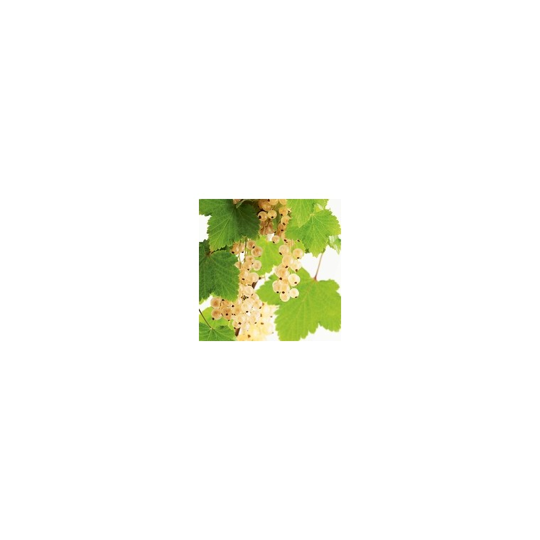 Groseillier Blanka bio 651881