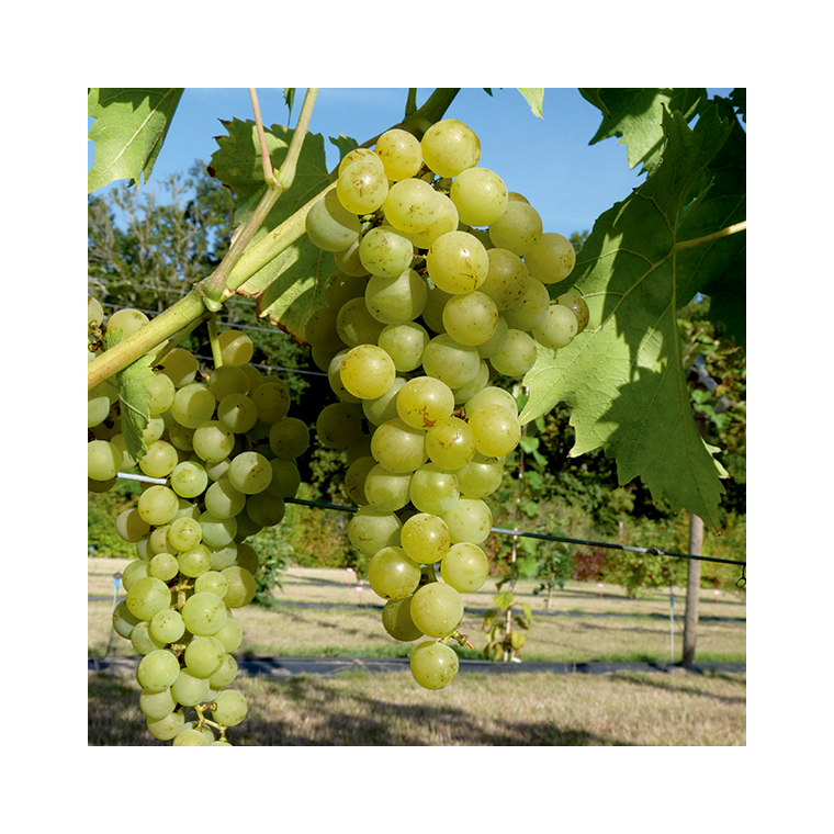Vigne Muscat Blanc 651889