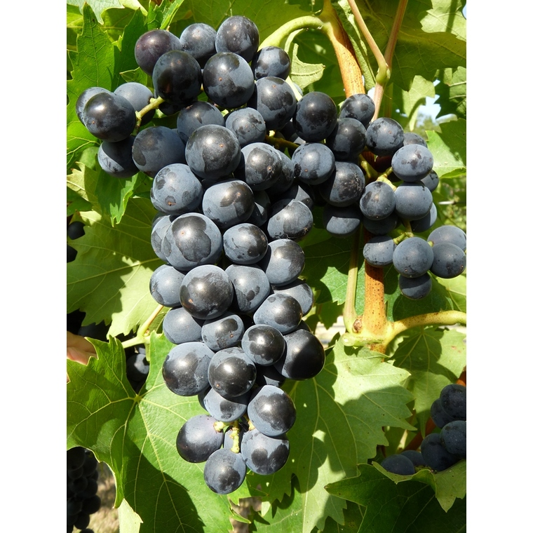 Vigne Muscat Bleu en conteneur de 5L noir 651892